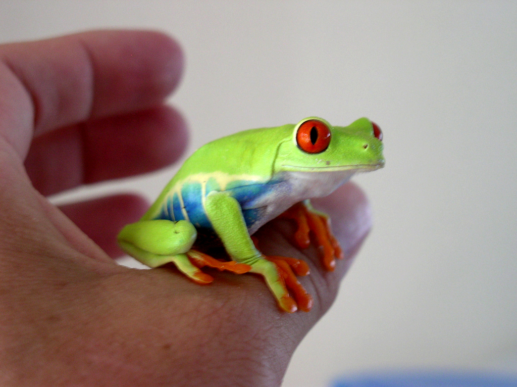 adult red-eyed treefrog
